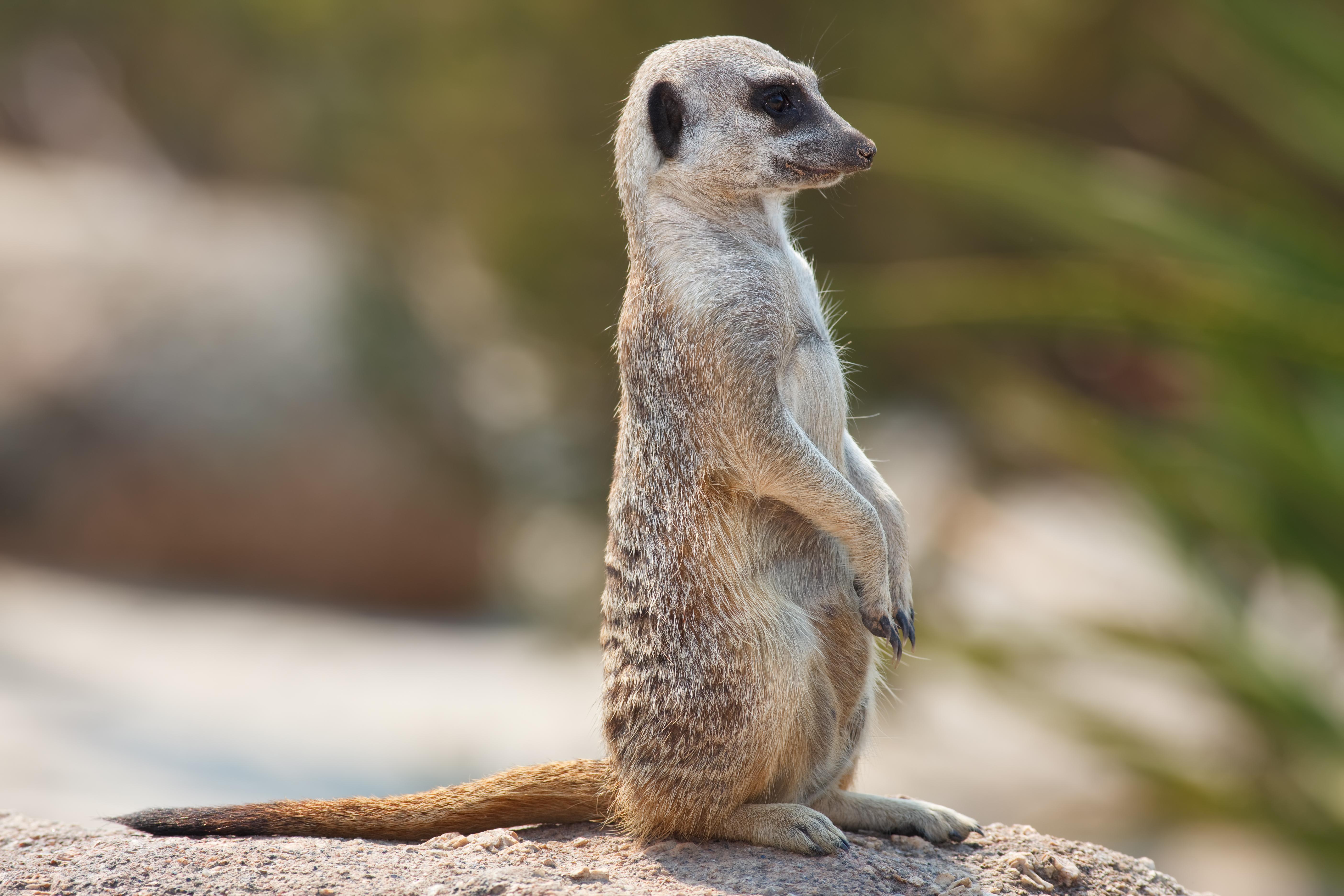 Meerkats: Secrets of an Animal Superstar - Natural World