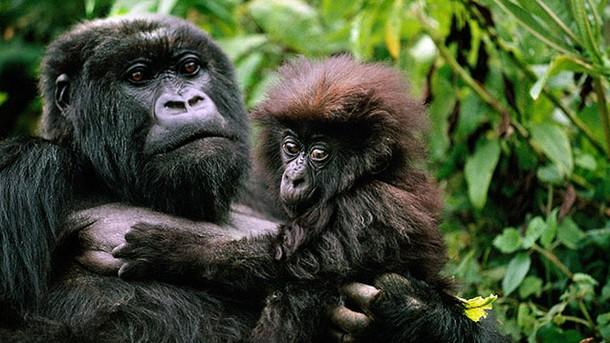 Het gorillarijk: de strijd der koningen