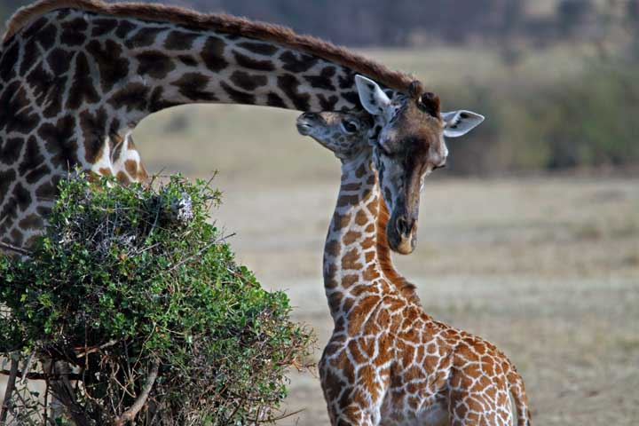 Mama Twiga: het verhaal van een giraffenmoeder